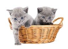 Dois gatinhos britânicos em uma cesta Imagem de Stock