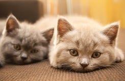 Dois gatinhos britânicos Imagem de Stock Royalty Free