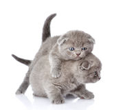 Dois gatinhos britânicos brincalhão do shorthair Isolado no branco Fotografia de Stock