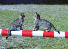 Dois gatinhos cinzentos em um obstáculo foto de stock