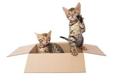 Dois gatinhos de Bengal em uma caixa de cartão Fotografia de Stock Royalty Free