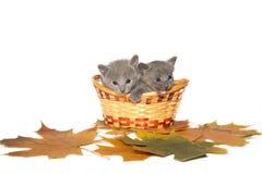 Dois gatinhos do azul do russo Imagens de Stock