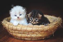 Dois gatinhos dos irmãos Foto de Stock