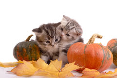 Dois gatinhos e abóboras Fotografia de Stock Royalty Free