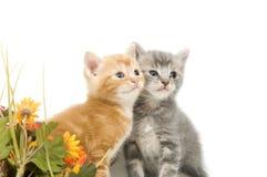 Dois gatinhos e flores Fotografia de Stock Royalty Free