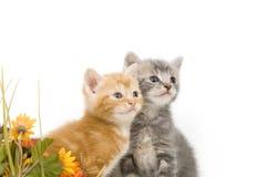 Dois gatinhos e flores Fotos de Stock Royalty Free