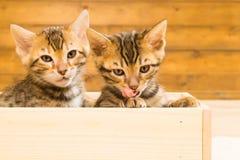 Dois gatinhos em uma caixa de madeira olham-no Foto de Stock Royalty Free
