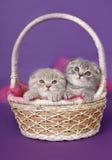 Dois gatinhos em uma cesta. Foto de Stock Royalty Free