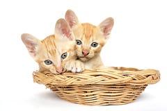 Dois gatinhos em uma cesta Imagem de Stock