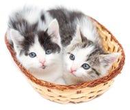 Dois gatinhos em uma cesta em um fundo branco Imagem de Stock Royalty Free