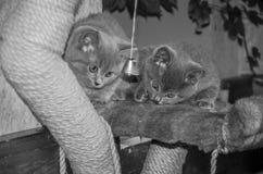 Dois gatinhos macios pequenos são jogados na prateleira Imagens de Stock