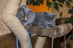 Dois gatinhos macios pequenos são jogados na prateleira Fotografia de Stock