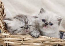 Dois gatinhos na cesta Fotos de Stock Royalty Free