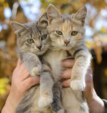 Dois gatinhos nas mãos Fotos de Stock Royalty Free