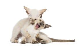 Dois gatinhos orientais de Shorthair, 9 semanas velhos Imagem de Stock Royalty Free