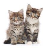Dois gatinhos pequenos Fotografia de Stock Royalty Free