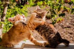 Dois gatinhos pequenos bonitos perseguem cada um Fotos de Stock Royalty Free