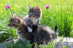 Dois gatinhos pequenos que andam na grama Imagens de Stock Royalty Free