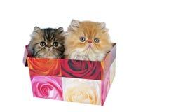 Dois gatinhos persas para o presente. foto de stock royalty free