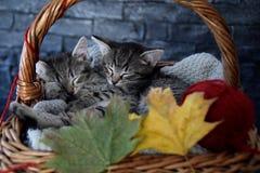 Dois gatinhos que dormem em uma cesta de vime com folhas e a bola vermelha do strin imagens de stock