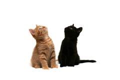 Dois gatinhos que olham acima Foto de Stock