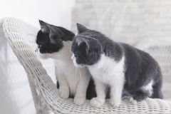 Dois gatinhos que olham algo Fotografia de Stock Royalty Free