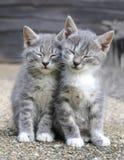 Dois gatinhos sonolentos cinzentos Fotos de Stock Royalty Free