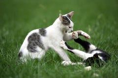 Dois gatos Imagem de Stock Royalty Free