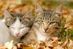 Dois gatos Imagem de Stock