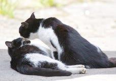Dois gatos amigáveis que beijam no dia de verão Fotografia de Stock