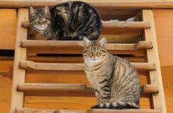 Dois gatos bonitos bonitos Fotos de Stock Royalty Free