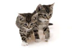 Dois gatos bonitos Foto de Stock Royalty Free