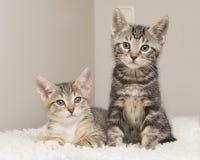 Dois gatos bonitos do bebê do gato malhado em uma sala de visitas que senta-se ao lado de cada o Imagens de Stock Royalty Free