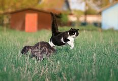 Dois gatos bonitos engraçados bonitos são divertimento e corredor e luta rápidos Fotografia de Stock