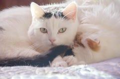 Dois gatos brancos bonitos Imagem de Stock Royalty Free