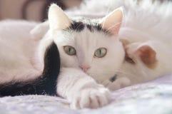 Dois gatos brancos bonitos Imagens de Stock Royalty Free