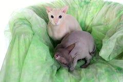 Dois gatos calvos do sphinx imagens de stock royalty free
