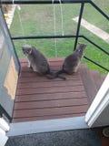 Dois gatos cinzentos com caudas cruzadas fotografia de stock