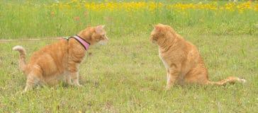 Dois gatos de gato malhado do gengibre em um prado ensolarado da mola Fotografia de Stock