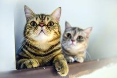 Dois gatos de gato malhado no amor imagens de stock royalty free