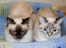 Dois gatos domésticos Imagem de Stock