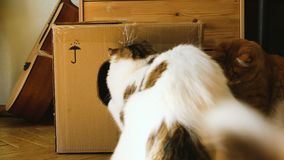Dois gatos domésticos jogam com um raio de sol de um espelho em uma caixa de cartão, dois animais de estimação jogam em casa filme