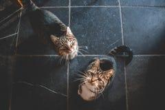 Dois gatos domésticos que olham acima para um deleite imagem de stock royalty free