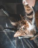 Dois gatos domésticos que olham acima para um deleite fotografia de stock royalty free