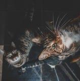 Dois gatos domésticos que olham acima para um deleite imagens de stock royalty free