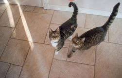 Dois gatos domésticos que procuram um deleite fotografia de stock royalty free