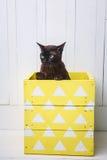Dois gatos, gatinho do marrom do gato do pai e do filho, o castanho chocolate e o cinzento com os olhos verdes grandes no assoalh Imagens de Stock