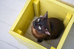 Dois gatos, gatinho do marrom do gato do pai e do filho, o castanho chocolate e o cinzento com os olhos verdes grandes no assoalh Fotos de Stock