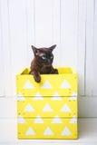 Dois gatos, gatinho do marrom do gato do pai e do filho, o castanho chocolate e o cinzento com os olhos verdes grandes no assoalh Imagens de Stock Royalty Free