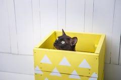 Dois gatos, gatinho do marrom do gato do pai e do filho, o castanho chocolate e o cinzento com os olhos verdes grandes no assoalh Fotografia de Stock